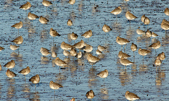 black-tailed godwits, knot and dunlin