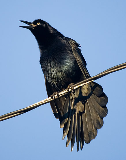 great-tailed grackle: male