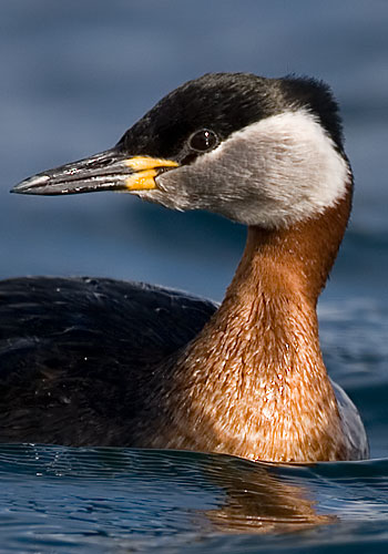 red-necked grebe