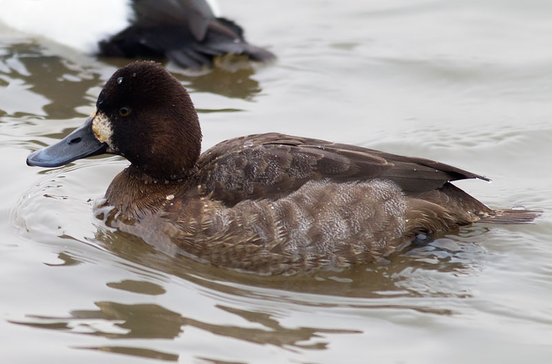 lesser scaup - first winter female