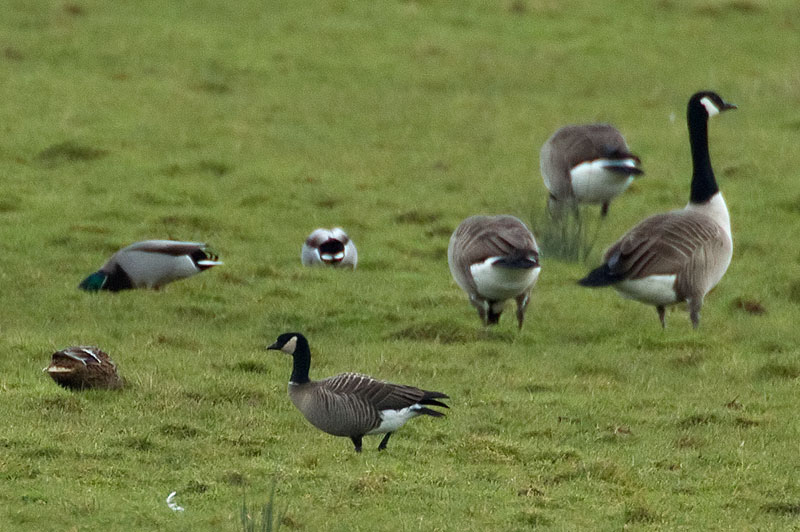 Richarson's cackling goose