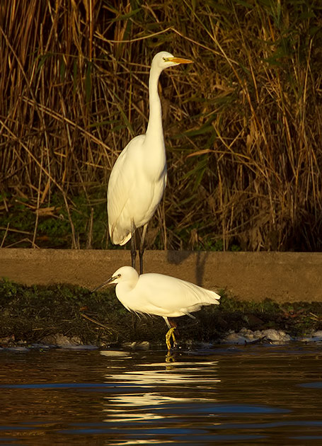 great white and little egrets