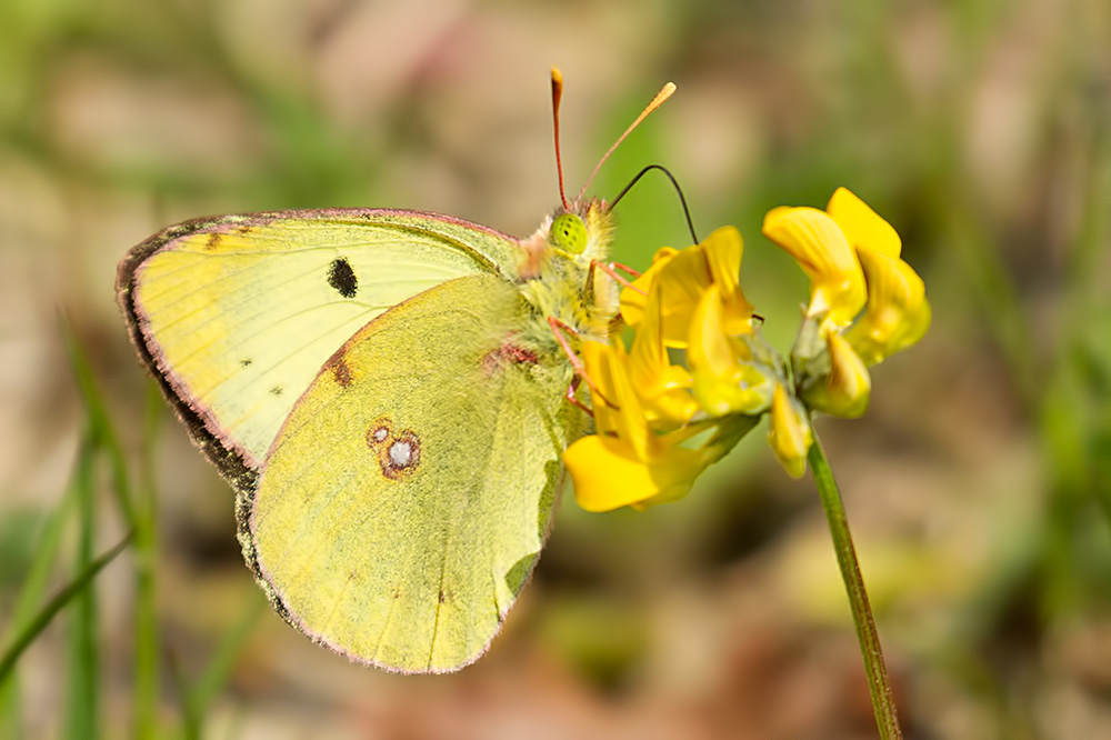Berger's clouded yellow