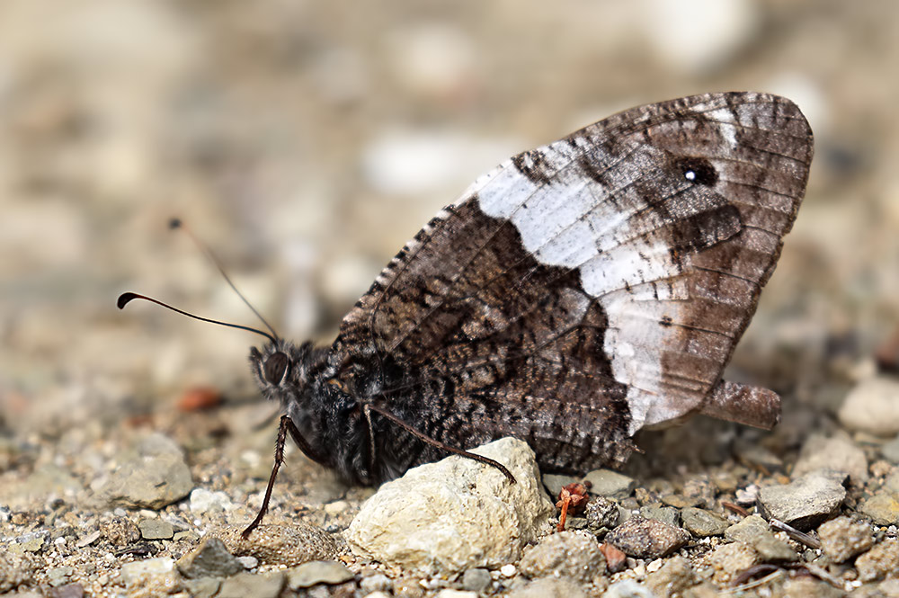 great-banded grayling