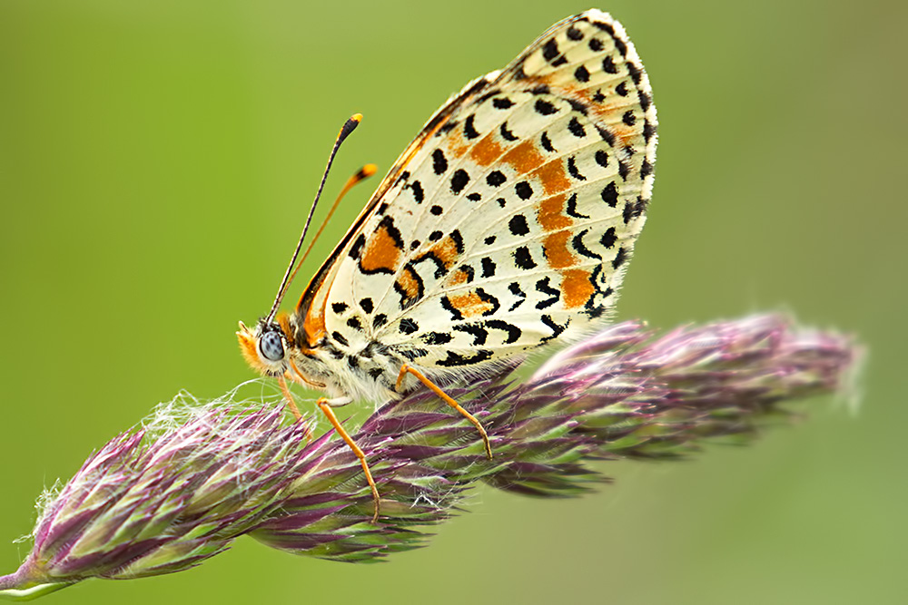 spotted fritillary