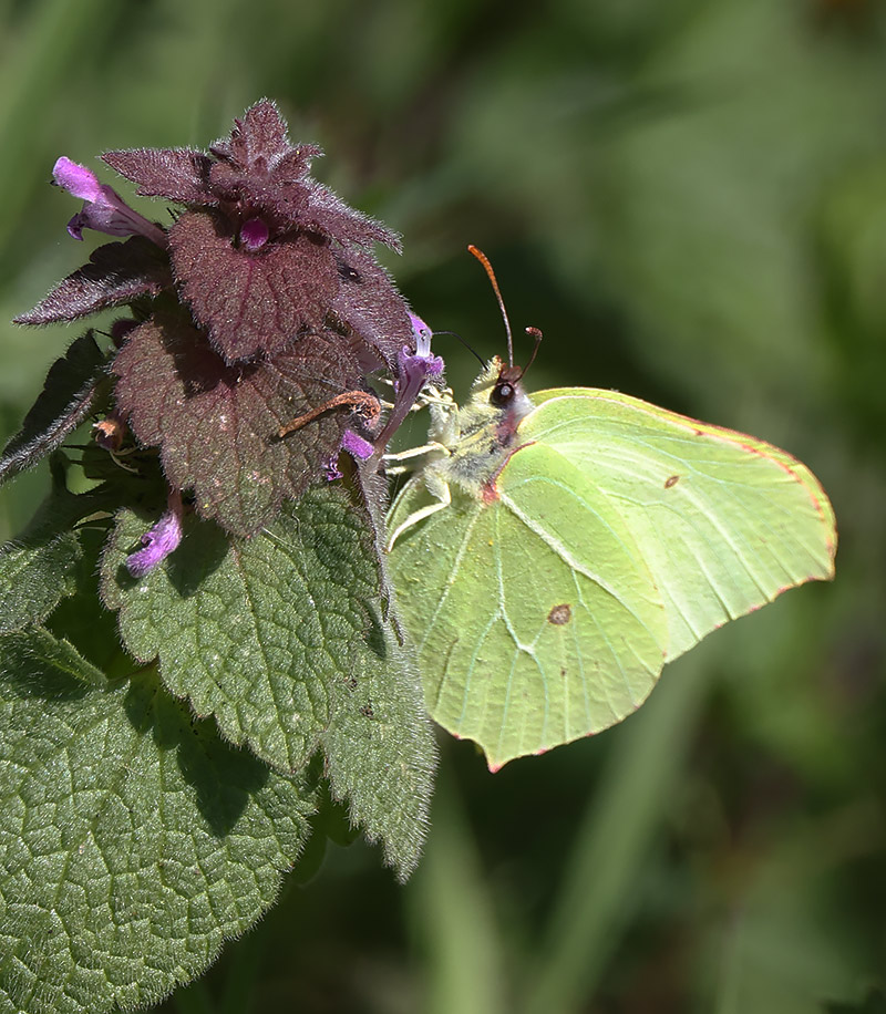 brimstone on purple dead nettle