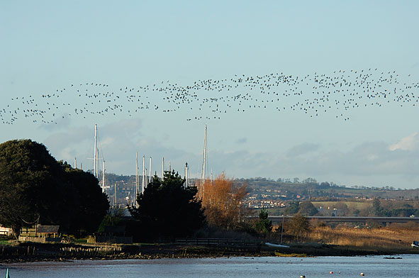 brent geese over the Exe