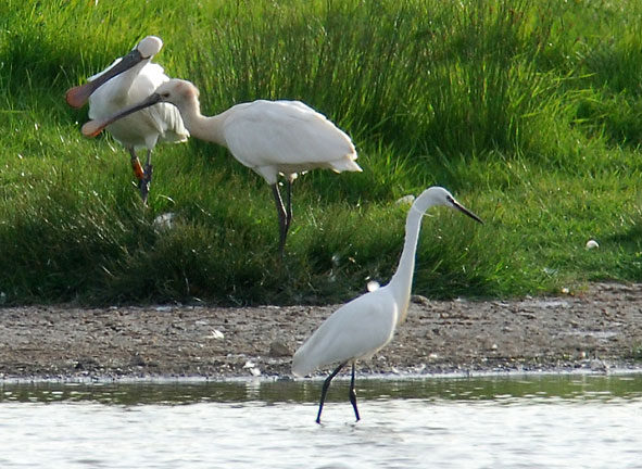 spoonbills and little egret