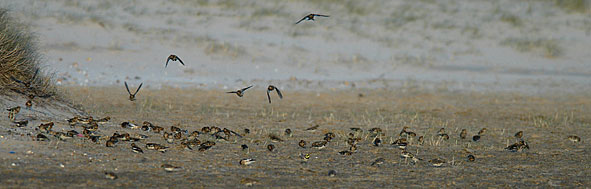 snow buntings and shore lark
