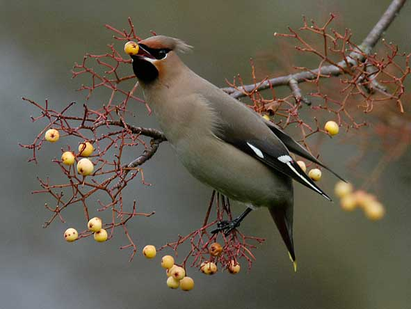 first-winter waxwing