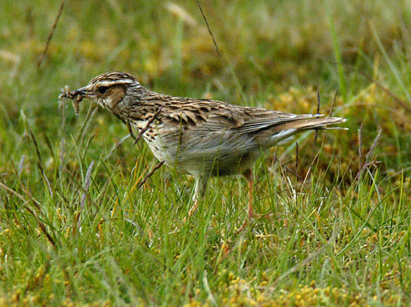 woodlark carrying food